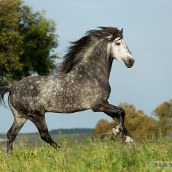 Grey Lusitano stallion galloping in Portugal against trees and sky