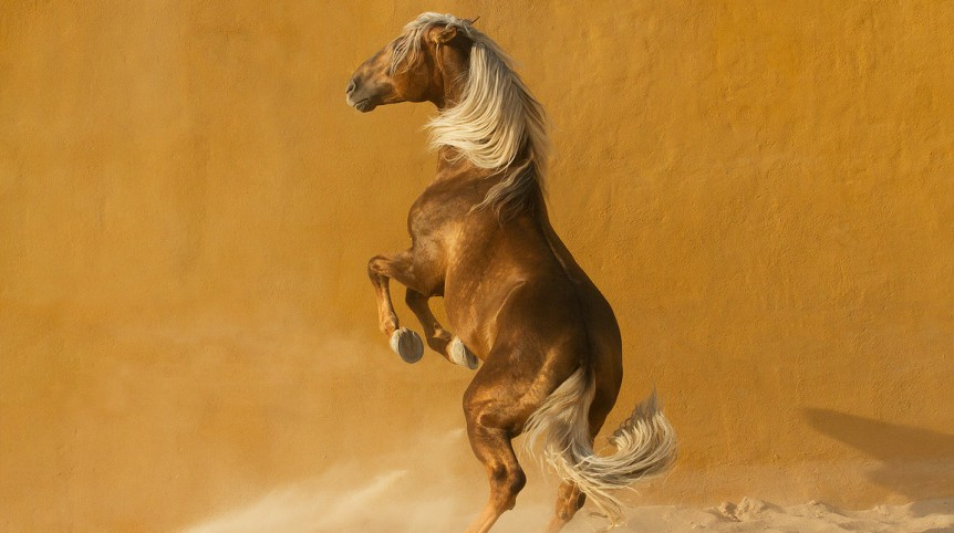 Lusitano stallion rising in sand against yellow wall in Spain