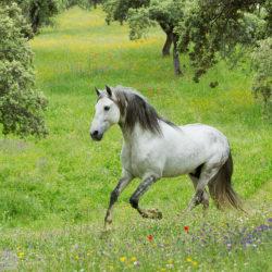 Siwy andaluz galopujący po wiosennej łące