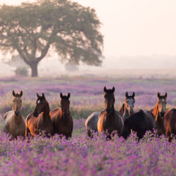 Lusitano stallions in the purple field