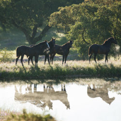 Lusitano stallions standing by the water