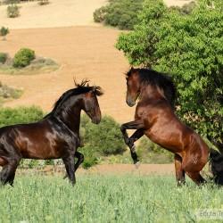 Walczące ogiery andaluzujskie wiosną w Hiszpanii