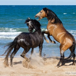 Ogiery andaluzyjskie walczące na plaży w Hiszpanii