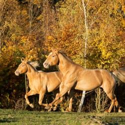 Szampańskie ogiery AQH galopujące na tle jesiennego źółtego lasu zdjęcia koni
