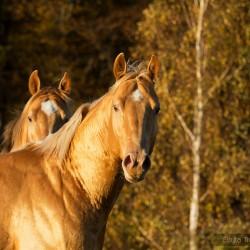 Portret szampańskich ogierów AQH na tle żółtych jesiennych brzóz zdjęcia koni