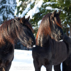 Portrait of Friesian horses in winter against threes