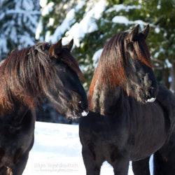 Portret dwóch koni fryzyjskich zimą na tle ośnieżonych drzew