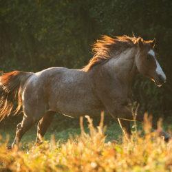 Quarter Horse galopujący jesienią o świcie