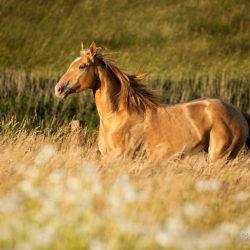 Quarter Horse kłusujący wiosną wśród kwiatów