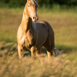 Quarter Horse standing in the field in spring