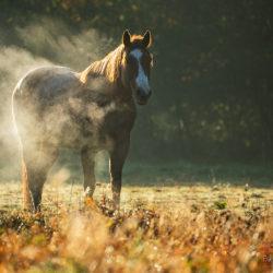 Quarter Horse parujący o świcie jesienią