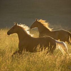 Quarter Horses galopujące w wiosną o świcie