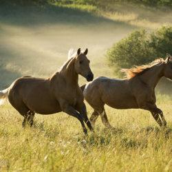 Quarter Horses galopujące w wiosną w porannej mgle