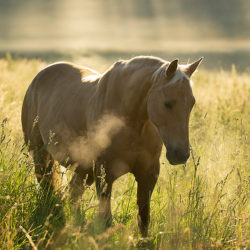 Quarter Horse stojący o świcie we mgle na łące