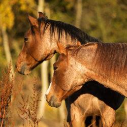 Jesienny portret Quarter Horses