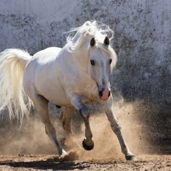 Lusitano stallion galloping on the sand against the wall