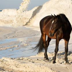 Wałach szlachetnej półkrwi stojący na białych piaskach
