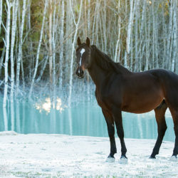 Half-bred gelding standing on white sands by the water