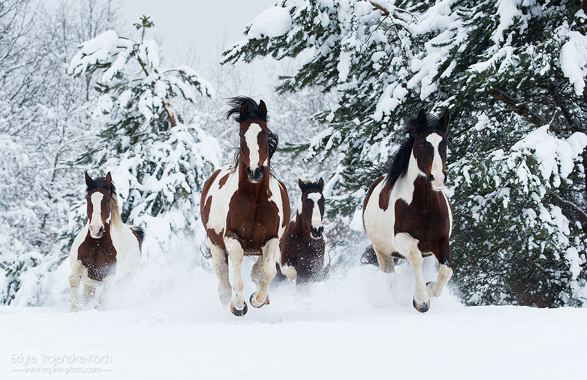 Herd of piebald horses galloping through the snow