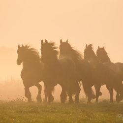 Stado fryzów kłusujące jesienią o wschodzie słońca we mgle