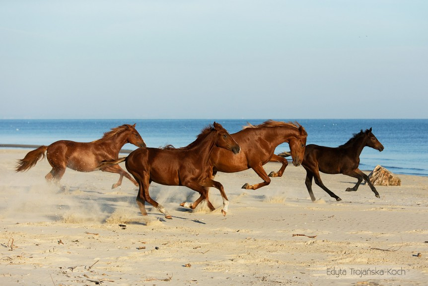 Herd of chesnut horses galloping on the beach by the sea against blue sky