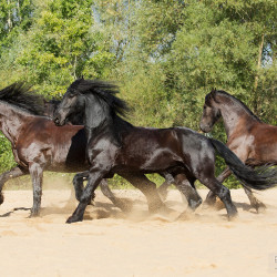 Herd of Friesians horses galloping on the sand