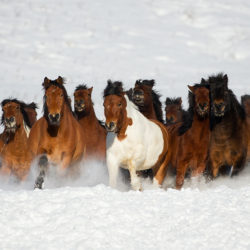 Huzuls herd trotting in the winter through the snow