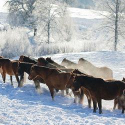 Stado hucułów zimą o poranku w Bieszczadach