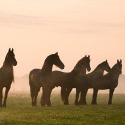Stado fryzów stojące jesienią o wschodzie słońca we mgle