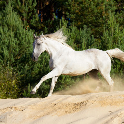 Half bred grey horse galloping through the sand