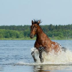 Koń szlachetnej półkrwi galopujący latem przez jezioro