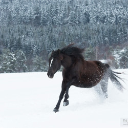 Half bred mare galloping through the snow in mountains