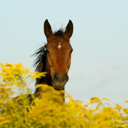 Portrait of a half bred mare amongst flowers