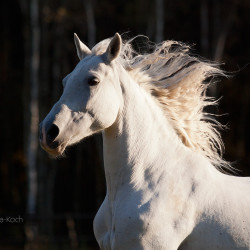 Portrait of a half bred mare