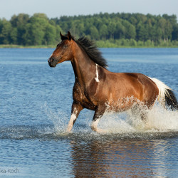 Half bred piebald mare trotting in the lake
