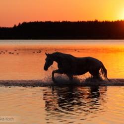 Klacz szlachetnej połłkrwi idąca o zachodzie słońca przez jezioro