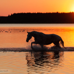 Half bred mare walking in the lake