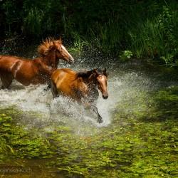 Konie szlachetnej półkrwi kłusujące latem przez rzekę wśród traw i grążeli equine photography zdjęcia koni