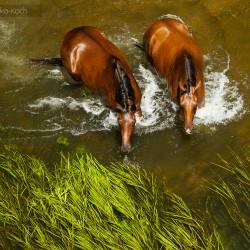 Konie szlachetnej półkrwi kąpiące się latem w rzece