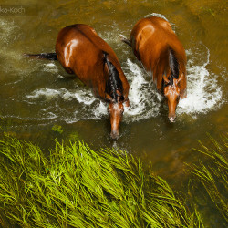 Half bred horses in the river