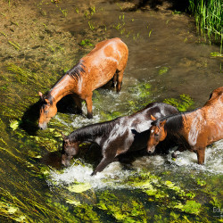 Half bred horses walking through the river