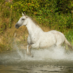 Half bred grey horse trotting through the river