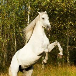 Half bred gelding rising in autumn