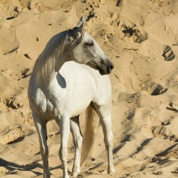 Siwy wałach szlachetnej półkrwi stojący na piasku