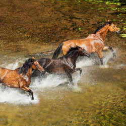 Half bred horses galloping through the river