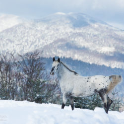Appaloosa gelding posing against mountains