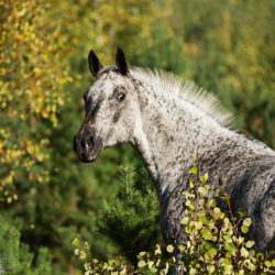 Autumn portrait of half-bred mare among trees