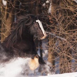 Tinker gelding galloping through the snow