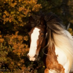 Portrait of piebald Tinker mare in autumn against colourful trees
