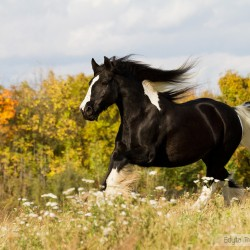Piebald Tinker mare galloping in autumn in a field with flowers against colourful trees